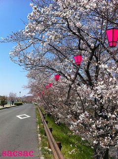 405久米田池の桜1.jpg