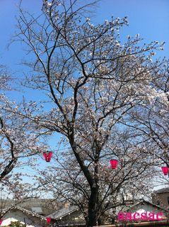 405久米田池の桜2.jpg