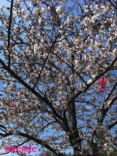 405久米田池の桜3.jpg